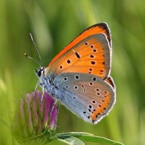 metulj